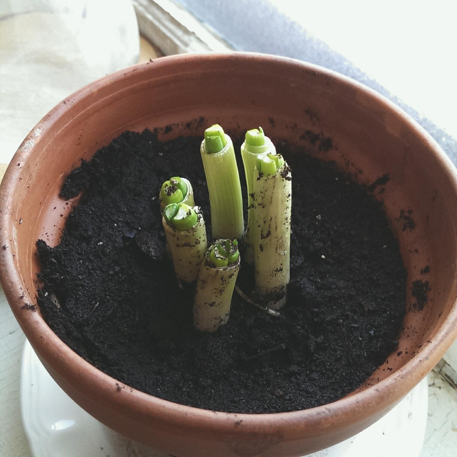 green onion growth!